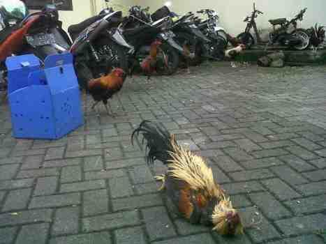 Barang bukti ayam bangkok yang disita Tim Buser Polres Minut. (foto: fine/bmc)