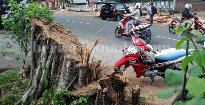 pohon perindang ditebang (3)