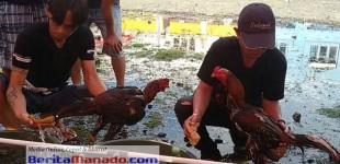Tak Hanya Pentingkan Pertarungan, Kesehatan Ayam Jago Juga Yang Utama