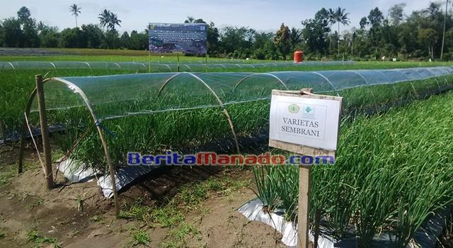 Salah satu varietas yang ditanam PT Gunung Mas Agro Lestari