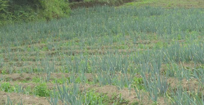Batang bawang di Manado harganya masih mahal, tapi di kampung sangat murah