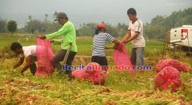 Kegiatan panen bawang merah di lahan Desa Pulutan