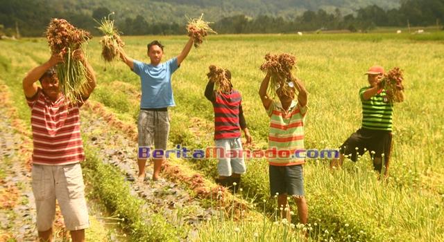 Petani Binaan PT GMAL saat panen bawang merah di Desa Pulutan
