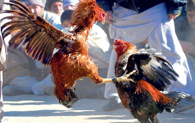 Menyabung Ayam (Foto Ilustrasi)