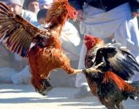 Perlu Diskusi Terbuka untuk Legalkan Menyabung Ayam