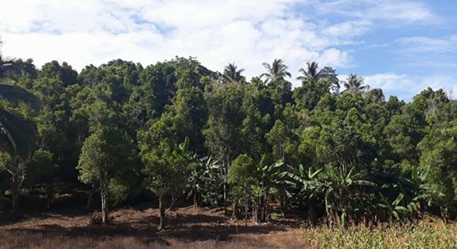 Perkebunan Cengkih di Kecamatan Kombi